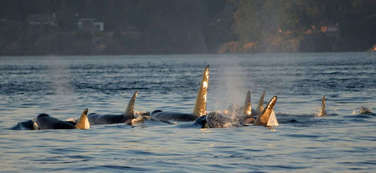 killer-whales-swimming-in-a-pod-in-victoria-british-columbia-canada
